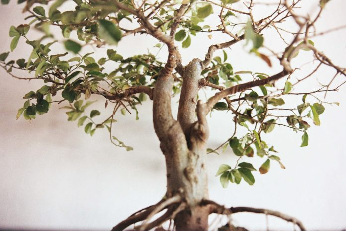 Lessons in how to care for a bonsai tree